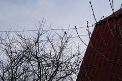 bird on the tree (sollferino) Tags: belarus sky