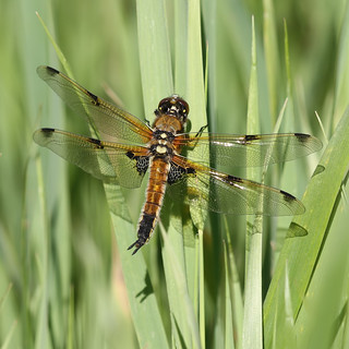 Four-spotted chaser - Libellula quadrimaculata