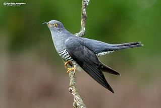 Common Cuckoo, Cuculus canorus