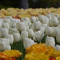 DSC_5456a (Fransois) Tags: fleurs flowers tulipes tulips ottawa ontario mai may