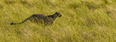 CHEETAH ON THE HUNT: (John C. Bruckman @ Innereye Photography) Tags: botswana cheetah conservation namibia regionaldistribution southern africawide ranging naturesprotected areasafrican wild dogpopulation density httpwwwcheetahconservationbotswanaorg cat predator hunting