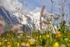 Heidi (CoolMcFlash) Tags: rural scenics landscape flower field pasture alm mountain focus austria carinthia canon eos 60d grass ländlich nature natur landschaft grosglockner feld blumen wiese berg fokus österreich kärnten fotografie photography snow schnee sommer summer tamron b008 18270 alps alpen
