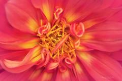 Explosive (Ifigeneia Vasileiadis) Tags: dahlia macro colorful flora tair11a extentiontubes