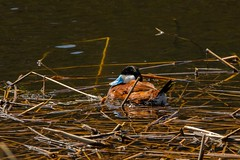 After a feed (ChicagoBob46) Tags: ruddyduck duck bird yellowstone yellowstonenationalpark nature wildlife coth5 ngc npc