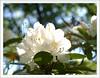 Ein Gruß aus dem Britzer Garten <3<3<3 (magritknapp) Tags: rhododendron bokeh äste zweigeblätterblütehimmeltwigstwigsbladesblossomsky rameaux pales fleurir vedette ramitas láminas florecimiento testero ramos folhagem flor céu rami fuscelli lamelle fiorire firmamento twijgen lemmeten tot bloei komen firmament grenar lövverk blomma himlen grene løv blomst gałązki żyletki kwiatostan nieboskłon