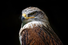 Angry Birds (picsessionphotoarts) Tags: nikonphotography nikond750 nikon nikonfotografie afsnikkor200500mmf56eedvr blackbackground bussard königsrauhfusbussard buteoregalis bird greifvogel birdsonflickr buzzard falconry falknerei schillingsfürst
