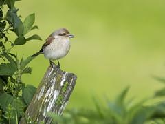 P5170315 (turbok) Tags: neuntöterlaniuscollurio tiere vögel wildtiere c kurt krimberger