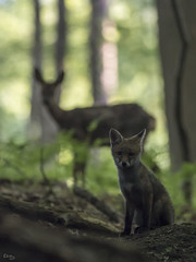 Le renard et la chevrette (Richard Holding) Tags: chevreuil deer eure forest forêt fox m43 nature normandie olympus omd renard wildlife