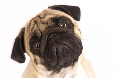 The pug dog sits and looks directly into the camera. Sad big eyes. (yannamelissa) Tags: cute dog sad directly pug white isolated portrait animal small greeting funny celebrate present pet emotion friend canine breed puppy sadness doggy sorrow melancholy sitting big macro face headshot domestic beige petulant crying eye expression adorable friendship serious facial thinking purebred depression pedigreed question curiosity wrinkle snout hound asking pleading
