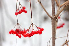 Red viburnum berries in snow on a branch (yannamelissa) Tags: snow berries winter viburnum white red berry plant nature christmas branch frozen season tree cold flora bunch frost blue food bright covered fruit seasonal weather ice snowy background color healthy light macro outdoors forest tasty cool xmas vitamin december frosty icy day bush closeup natural