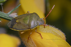 _IMG2051  Gorse Shieldbug (Pete.L .Hawkins Photography) Tags: gorse shieldbug petehawkins petelhawkinsphotography petelhawkins petehawkinsphotography pentax 100mm macro pentaxpictures pentaxk1 fantasticnature fabulousnature incrediblenature naturephoto wildlifephoto wildlifephotographer naturesfinest unusualcreature naturewatcher insect invertebrate bug 6legs compound eyes creepy crawly uglybug bugeyes fly wings eye veins flyingbug flying beetle shell elytra ground hoverfly