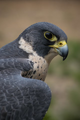 Peregrine Portrait (Jon David Nelson) Tags: peregrinefalcon birdsofprey raptors birds highdesert education conservation