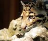 clouded leopard Ouwehands BB2A6051 (j.a.kok) Tags: luipaard leopard nevelpanter panter panther neofelisnebulosa cloudedleopard kat cat animal ouwehands mammal zoogdier dier predator asia azie