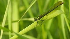 Calopteryx Splendens Female - 105mm Macro (Visual Stripes) Tags: calopterygidae odonata insect invertebrate green sigma105mm macro olympusepm1 handheld female weidebeekjuffer