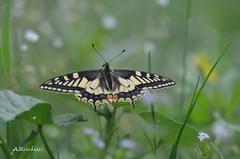 ... in una giornata nuvolosa, posata a fare rifornimento di energia (Plebejus argus) Tags: papiliomachaon papilionidi farfalle butterflies lepidotteri insetti primavera prato nubi vallegrande montilepini lazio it