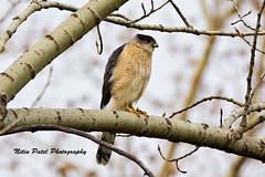 IMG_5730 (nitinpatel2) Tags: bird nature nitinpatel