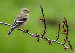 _A995922 (mbisgrove) Tags: bird a99m2 finch a99ii yellow sal70400g2 sony