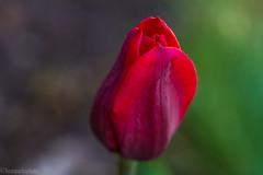 Tulip 2 (kensparksphoto) Tags: tulips tulip flower macro manualfocus canonfd50mmf35macro canon bokeh
