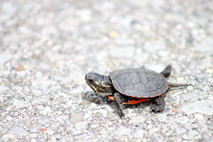 A baby Painted Turtle exploring its new world (Peachea) Tags: paintedturtle turtle baby cute wildlife urbanwildlife