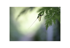 Mayfly. (muddlemaker1967) Tags: hampshire nature photography the river itchen spring 2018 mayfly bokeh fly insect highlights fujifilm xt1 55mm f28 ais micro nikkor fotodiox adapter