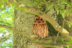 Tawny Owl (CJT29(No longer Pro)) Tags: birds bird hampshire cjt29 tawnyowl strixaluco newforest woodland outdoors