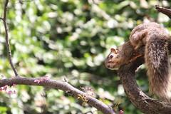 Squirrels in Ann Arbor at the University of Michigan (May 21st, 2018) (cseeman) Tags: gobluesquirrels squirrels annarbor michigan animal campus universityofmichigan umsquirrels05212018 spring eating peanut mayumsquirrel oak buroak buroaktree rossschoolofbusiness oaktree cavitynest treecavitynest juveniles juvenilesquirrels