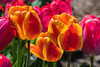 Flowers for Mother's Day (LEXPIX_) Tags: flowers tulips mothers day sunday orange red nikon d500 70200 lexpix