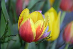 Voorjaar- (Astrid1949) Tags: tulpen april 2018 ngc