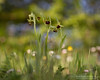 Jolasten (Obikani) Tags: ophrys sphegodes macro orchid nature álava araba orquídea flower lorea