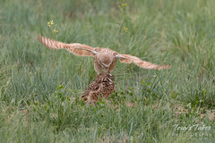 Burrowing Owl mating sequence - 2 of 22