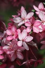 Pink (historygradguy (jobhunting)) Tags: easton ny newyork upstate washingtoncounty tree plant flowering flowers blossom blossoming pnk