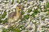 Canada gosling (Happy snappy nature) Tags: canadagosling cute fluffy small daisies flowers nature wild wildlife shropshire outdoors nikond500 nikon200500