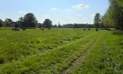 Midsummer Common (James Bowe) Tags: sun sky grass clouds trees cows cambridge midsummercommon 2018