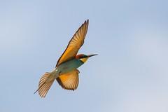 20mai18_17_prigorii prundu 17 (Valentin Groza) Tags: prigorie prigorii bee eater merops apiaster romania summer bird flight bif birdwatching outdoor