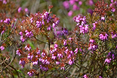 Beautiful spring 2018. 🌷 Winter-flowering heather. #Finland #Helsinki (L.Lahtinen (nature photography)) Tags: spring finland beauty nature springtime springflower nikond3200 naturephotography bokeh nikkor55300mm flora flowers suomi kukat kevät kevätkukat april 2018 luonto luontokuvaus lumikellokanerva ericacarnea winterfloweringheather heather kanerva 7dwf colorful pinkflowers europe helsinki