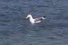 IMG_8876 (armadil) Tags: mavericks beach beaches californiabeaches bird birds gull gulls