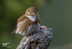 Better Than Last Year ( Northern Pygmy Owl) (The Owl Man) Tags: