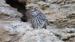 Accouplement ... (Cathie Clemot) Tags: littleowl chevêchedathéna athenenoctua strigidés strigiformes vendée france