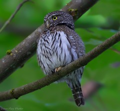 Northern Pygmy Owl- Linley valley (Dave Pley Photos) Tags: