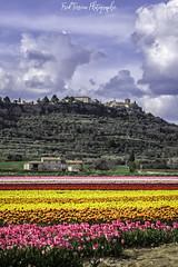 Tulipes Lurs v1 (freuddy) Tags: flower flowers provence france lurs colour colours tulip tulips tulipe nature landscape