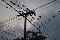 wires and wildlife (the foreign photographer - ฝรั่งถ่) Tags: wires wildlife our neighborhood pigeons squirrel street light flying bangkhen bangkok thailand