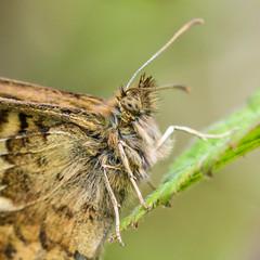 Speckled Wood (Matchman Devon) Tags: butterfly speckled wood south hams devon