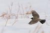 American Robin in Flight (HeidiGracePhotography) Tags: robin flight bird nature wildlife alberta