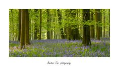 bluebells wood 3. (Tom Baetens) Tags: bluebells tree forest grass bos gras boom bomen tom baetens brakelbos brakel kleuren bloemen nikonflickraward