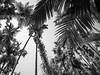 P4051172 (NorthernJoe) Tags: goa spice plantation tree climb worker black white india olympus