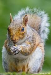 Squirrel portrait. ( Explored ) (nondesigner59) Tags: squirrel feeding portrait greysquirrel nature wildlife animal closeup copyrightmmee eos7dmkii nondesigner nd59