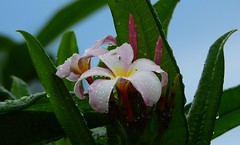 Springtime Plumeria (Jim Mullhaupt) Tags: plumeria frangipani flower tropical tree lei dogbane apocynaceae exotic wallpaper landscape bradenton florida manateecounty nikon coolpix p900 jimmullhaupt photo flickr geographic picture pictures camera snapshot photography nikoncoolpixp900 nikonp900 coolpixp900