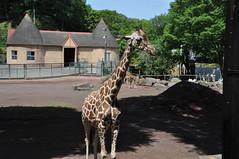 ユーカリ (yuki_alm_misa) Tags: 動物園 多摩動物公園 zoo キリン giraffe tamazoologicalpark
