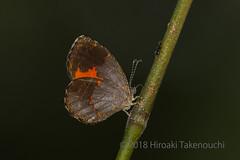 Eresiomera bicolor (Hiro Takenouchi) Tags: butterflies butterfly ghana insect schmetterling ankasa papillon wildlife nature lipteninae lycaenidae lycaenid