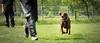 Catch him (zola.kovacsh) Tags: outdoor animal pet dog ipo schutzhund dobermann doberman pinscher